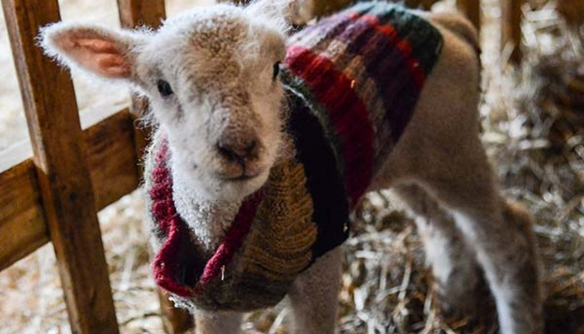 Lamb-in-Sweater