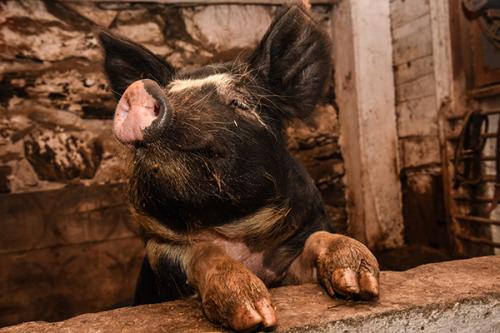 berkshire pigs billings farm and museum woodstock vt 2