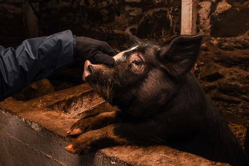 berkshire pigs billings farm and museum woodstock vt 4