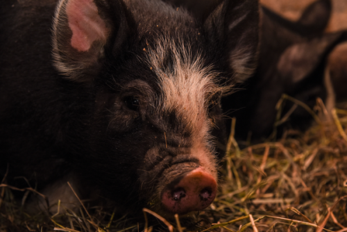berkshire pigs billings farm and museum woodstock vt 6