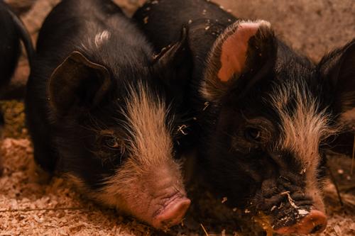 berkshire pigs billings farm and museum woodstock vt 7