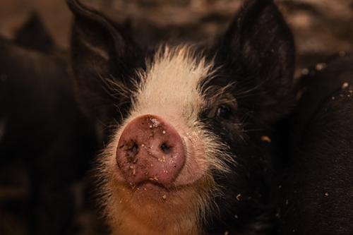 berkshire pigs billings farm and museum woodstock vt 8