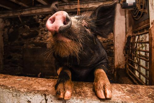 berkshire pigs billings farm and museum woodstock vt 9