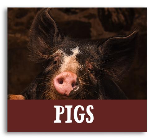 farm animals, pastures & barns billings farm woodstock vermont pigs animals