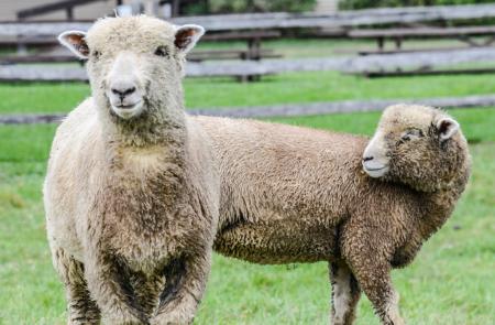 billings farm and museum sheep 2
