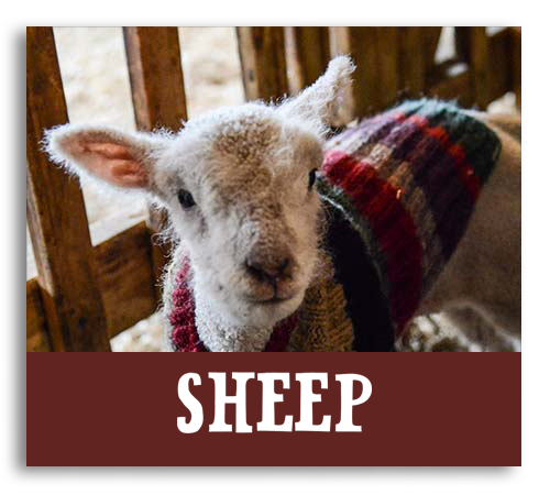 farm animals, pastures & barns billings farm and museum woodstock vt upper valley activities sheep