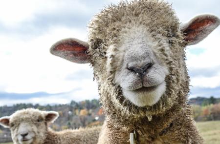 billings farm sheep woodstock vt 4