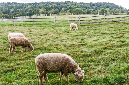 billings farm sheep woodstock vt 5