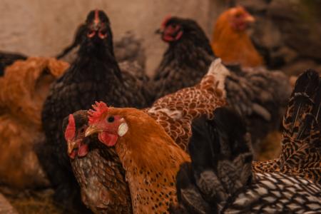 billings farm woodstock vermont chickens