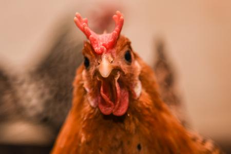 billings farm woodstock vermont chickens 3