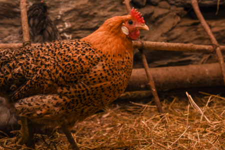 billings farm woodstock vermont chickens 5