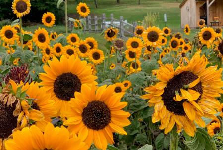 billings-farm-sunflower-garden-woodstock-vt
