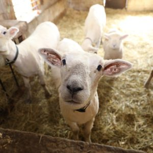 Sheep Shearing Herding April 27th