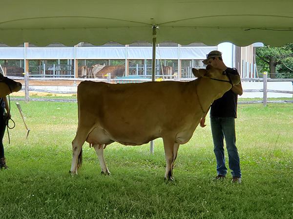 BF Jersey cow