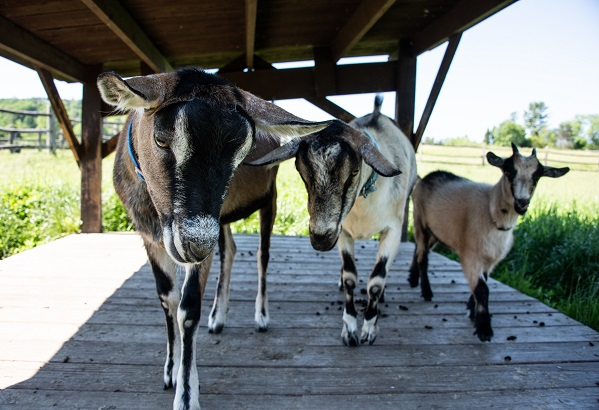 Up Close Goat Programs Daily July 26-31