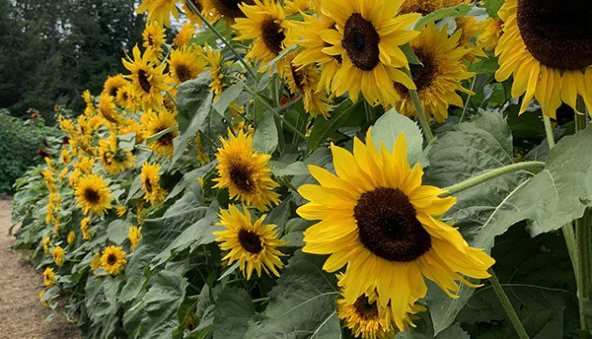 Billings Farm & Museum's Sunflower House