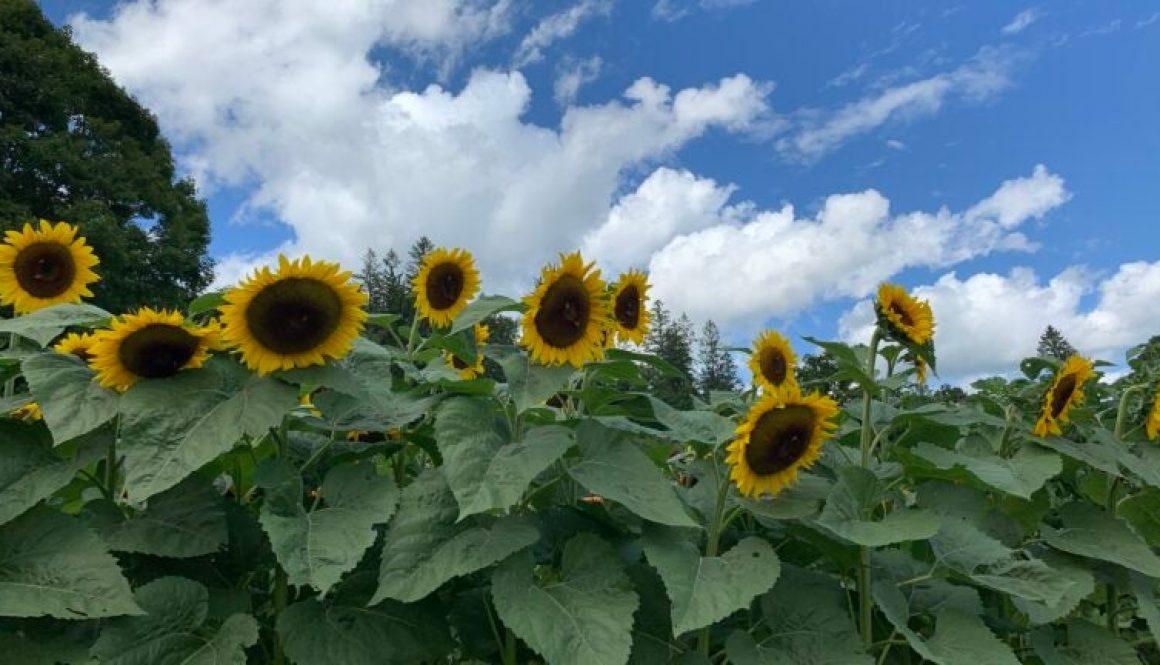 Sunflowers-boston-com