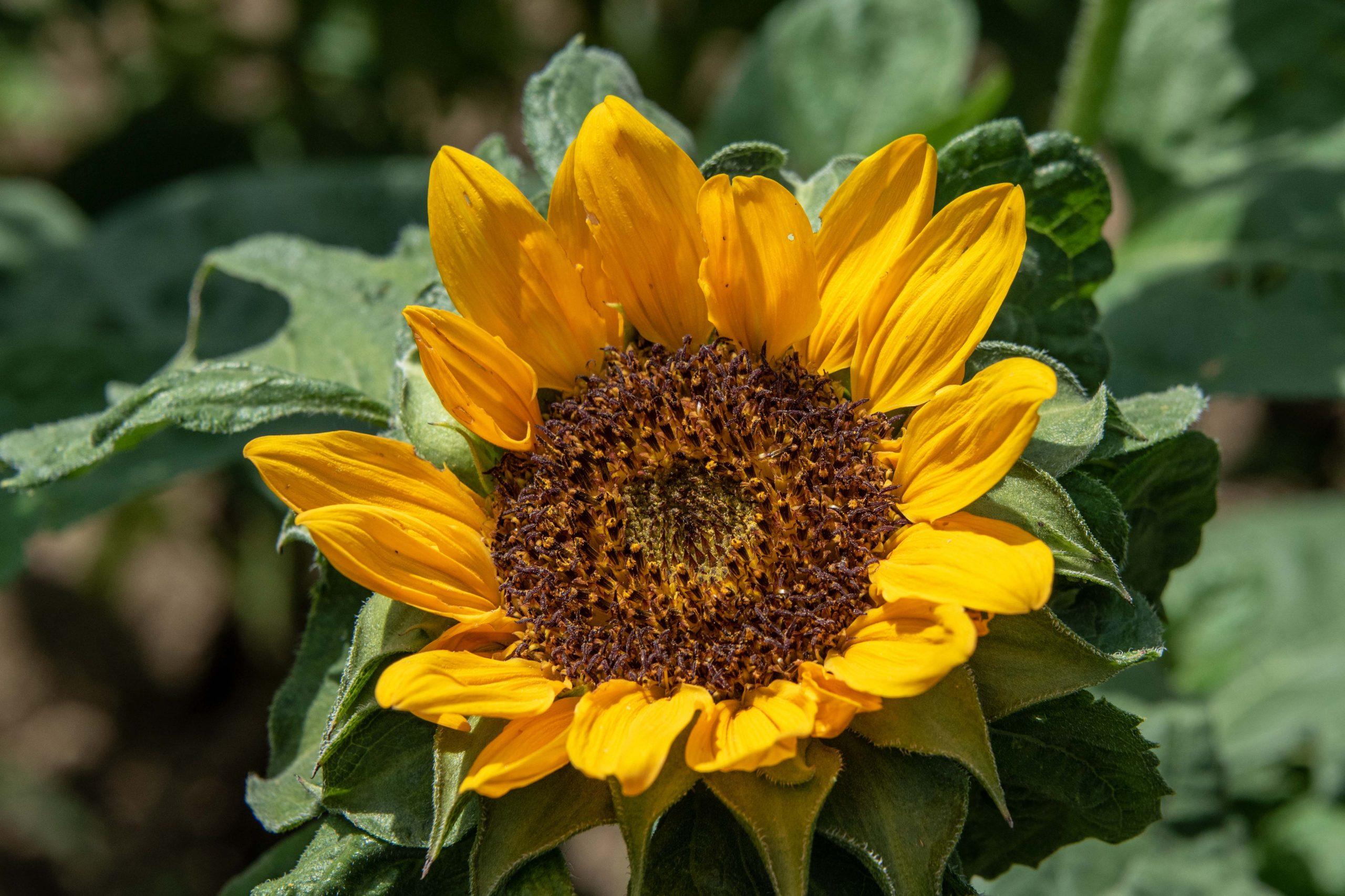 sunflower-reduced