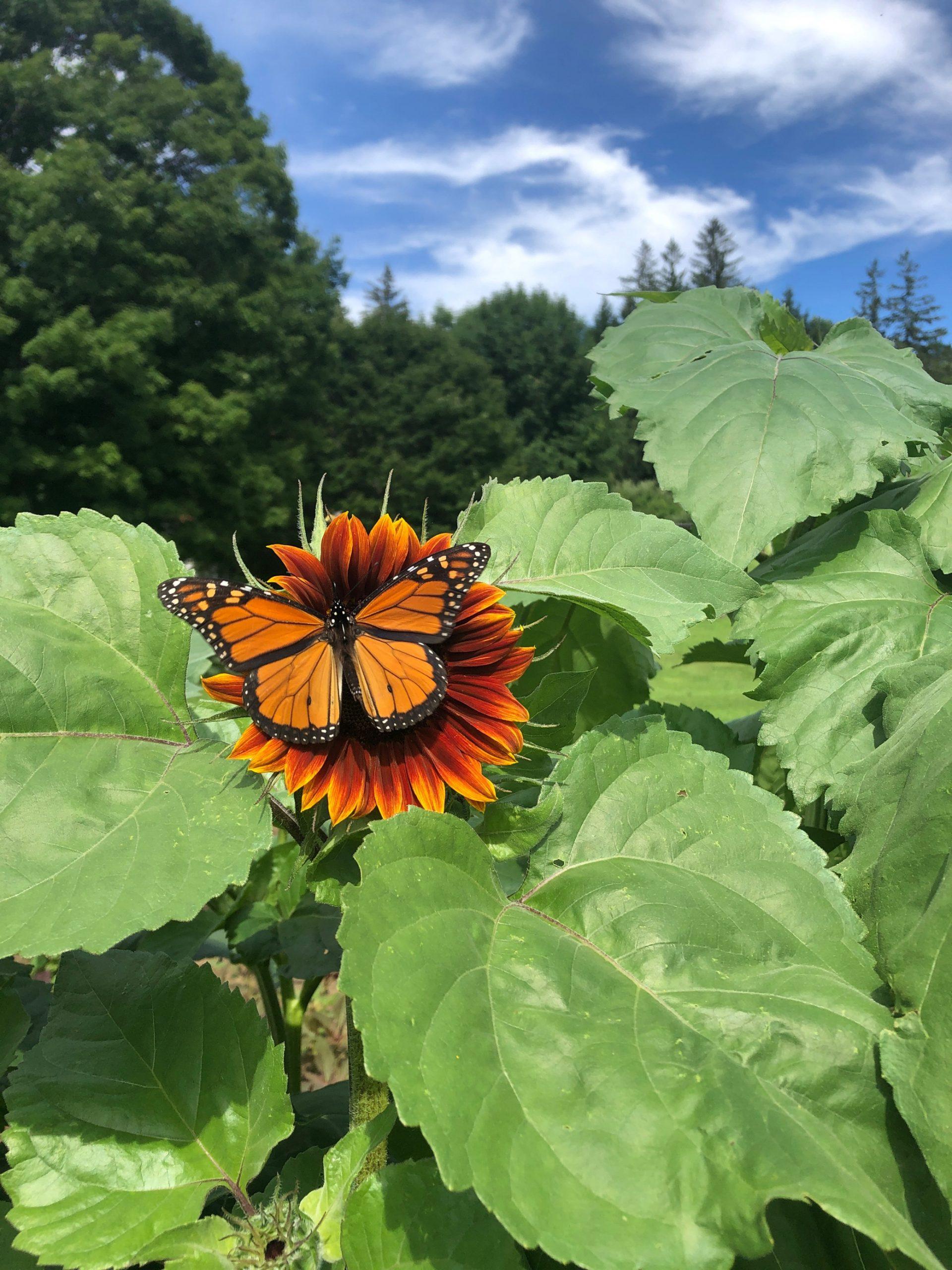 Sunflower 2020-butterfly